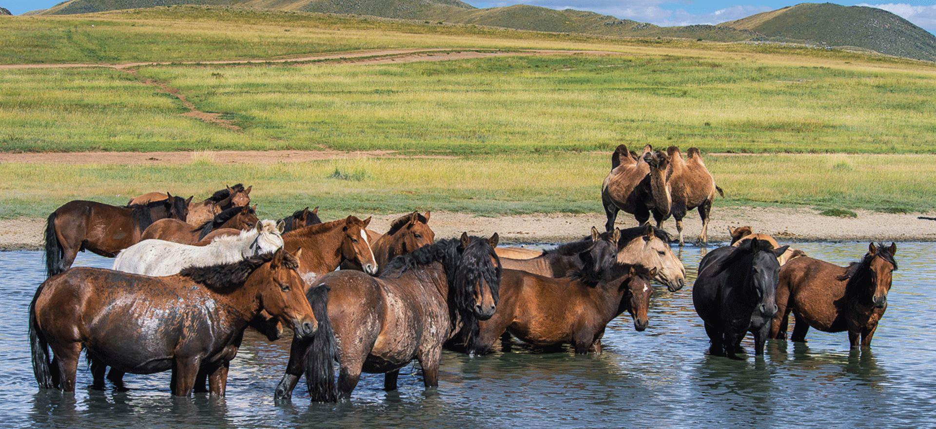 Horses in Mongolia - Mongolia itinerary